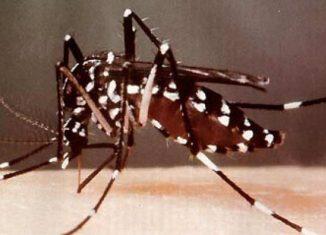 La mayor de las Antillas implementa un proyecto nacional para combatir el Aedes aegypti, con la aplicación de radiaciones ionizantes, como herramienta complementaria de la estrategia nacional para combatir esa plaga.