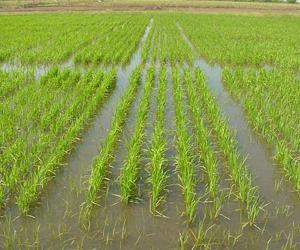 El programa inversionista que se lleva a cabo en los principales municipios dedicados al cultivo persigue autoabastecer del grano en un futuro no lejano a toda la provincia, el cual demanda de unas 45 000 toneladas.