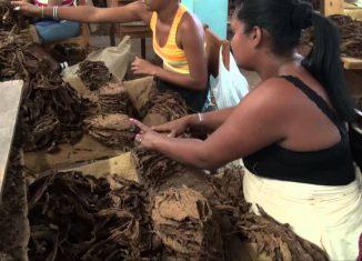 El programa de desarrollo del sector ha permitido sobrepasar las 30 000 toneladas de la hoja en las últimas tres campañas y disponer de la materia prima necesaria para la industria, e incluso para retomar la exportación de tabaco en rama trechado.