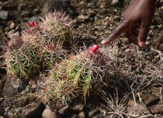 Melocactus guitartii, una especie en peligro crítico de extinción
